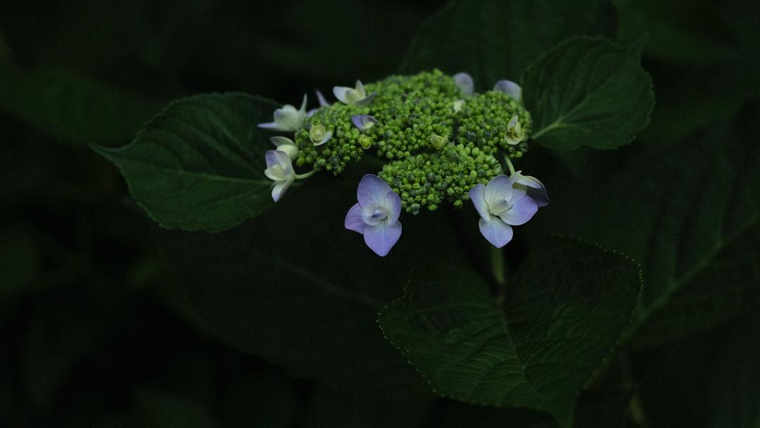 紫陽花 #3